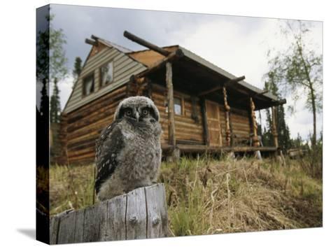 A Hawk Owl Sits on a Stump Near a Log Cabin-Michael S^ Quinton-Stretched Canvas Print