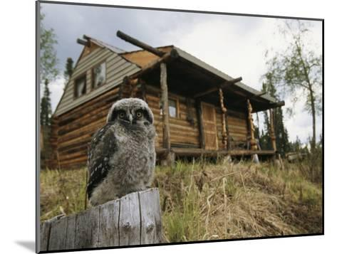 A Hawk Owl Sits on a Stump Near a Log Cabin-Michael S^ Quinton-Mounted Photographic Print