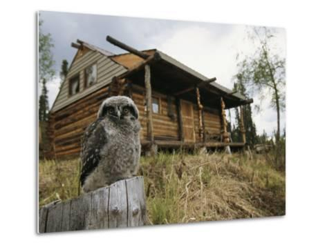 A Hawk Owl Sits on a Stump Near a Log Cabin-Michael S^ Quinton-Metal Print