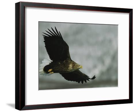 An Endangered White-Tailed Sea Eagle in Flight-Tim Laman-Framed Art Print