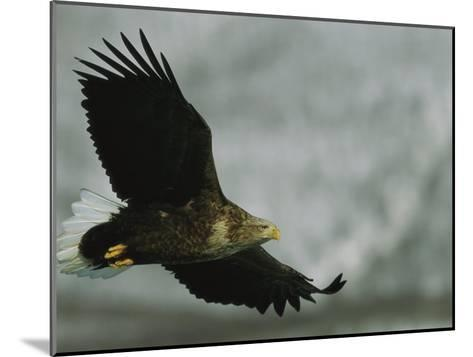 An Endangered White-Tailed Sea Eagle in Flight-Tim Laman-Mounted Photographic Print
