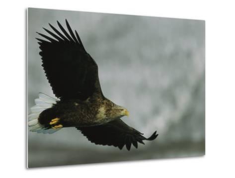 An Endangered White-Tailed Sea Eagle in Flight-Tim Laman-Metal Print