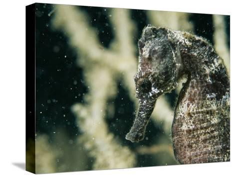 A Close View of the Head of a Sea Horse with a Coral Backdrop-Tim Laman-Stretched Canvas Print