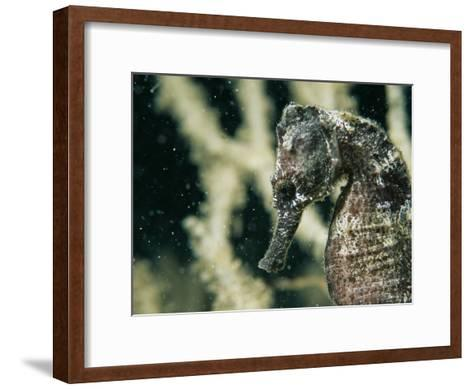 A Close View of the Head of a Sea Horse with a Coral Backdrop-Tim Laman-Framed Art Print