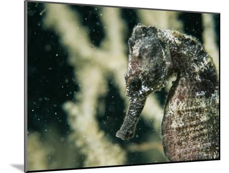 A Close View of the Head of a Sea Horse with a Coral Backdrop-Tim Laman-Mounted Photographic Print