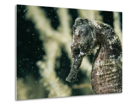 A Close View of the Head of a Sea Horse with a Coral Backdrop-Tim Laman-Metal Print