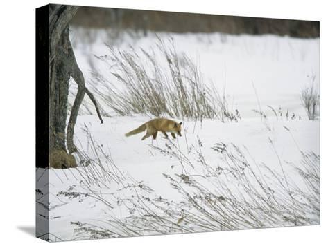 A Red Fox in a Snowy Landscape-Tim Laman-Stretched Canvas Print