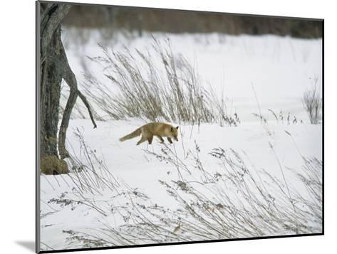 A Red Fox in a Snowy Landscape-Tim Laman-Mounted Photographic Print