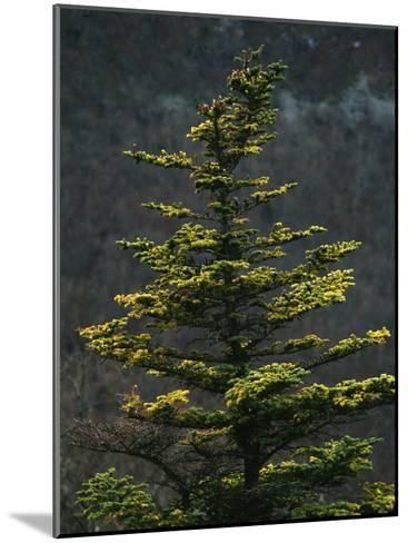 Spruce Tree Along Skyline Drive-Raymond Gehman-Mounted Photographic Print