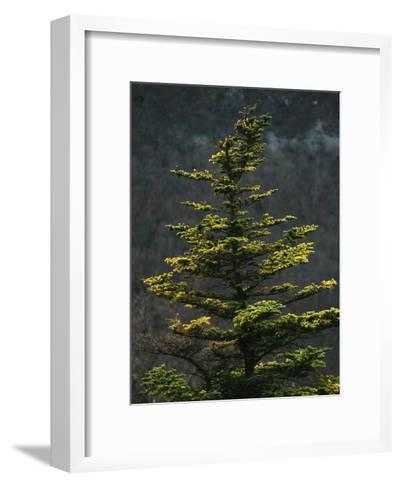 Spruce Tree Along Skyline Drive-Raymond Gehman-Framed Art Print