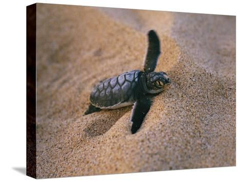 A Green Turtle Hatchling Struggling from its Nest in the Sand-Wolcott Henry-Stretched Canvas Print