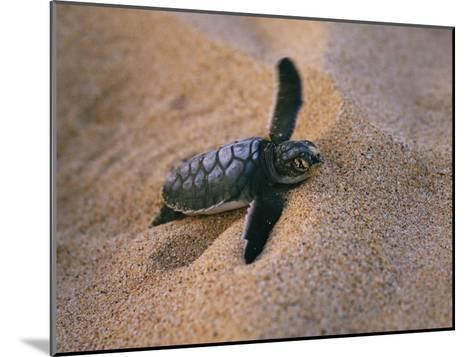 A Green Turtle Hatchling Struggling from its Nest in the Sand-Wolcott Henry-Mounted Photographic Print