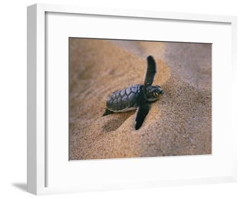 A Green Turtle Hatchling Struggling from its Nest in the Sand-Wolcott Henry-Framed Art Print