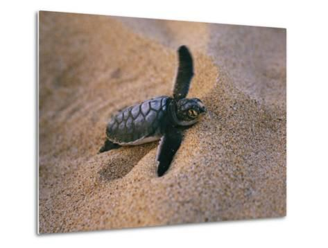 A Green Turtle Hatchling Struggling from its Nest in the Sand-Wolcott Henry-Metal Print