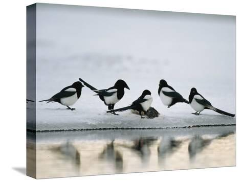 A Group of Magpies Gathered Around a Fish Carcass-Klaus Nigge-Stretched Canvas Print