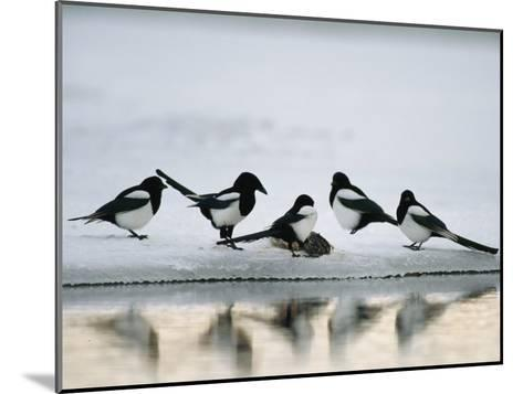 A Group of Magpies Gathered Around a Fish Carcass-Klaus Nigge-Mounted Photographic Print