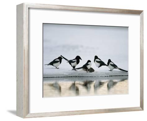 A Group of Magpies Gathered Around a Fish Carcass-Klaus Nigge-Framed Art Print