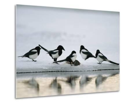 A Group of Magpies Gathered Around a Fish Carcass-Klaus Nigge-Metal Print
