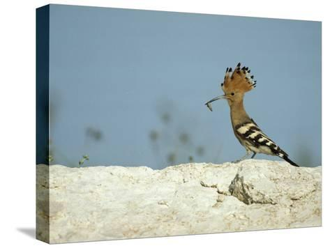 A Hoopoe Carries an Insect in its Mouth-Klaus Nigge-Stretched Canvas Print