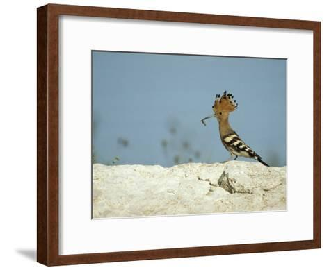 A Hoopoe Carries an Insect in its Mouth-Klaus Nigge-Framed Art Print
