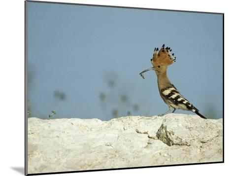 A Hoopoe Carries an Insect in its Mouth-Klaus Nigge-Mounted Photographic Print