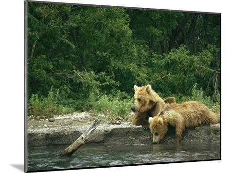 Brown Bear Cubs Resting on a River Bank-Klaus Nigge-Mounted Photographic Print