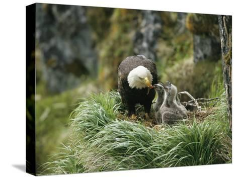 An American Bald Eagle Feeds its Young-Klaus Nigge-Stretched Canvas Print