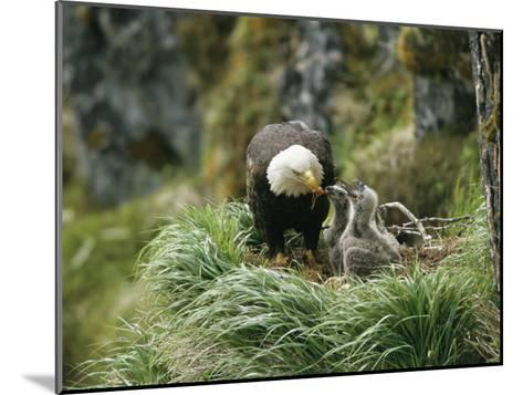 An American Bald Eagle Feeds its Young-Klaus Nigge-Mounted Photographic Print