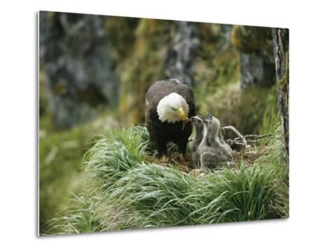 An American Bald Eagle Feeds its Young-Klaus Nigge-Metal Print