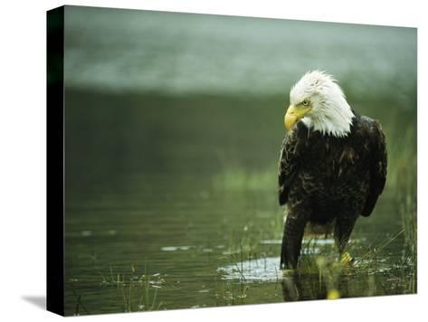 An American Bald Eagle Stares Intently Down at its Prey Below-Klaus Nigge-Stretched Canvas Print