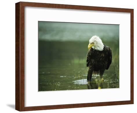 An American Bald Eagle Stares Intently Down at its Prey Below-Klaus Nigge-Framed Art Print