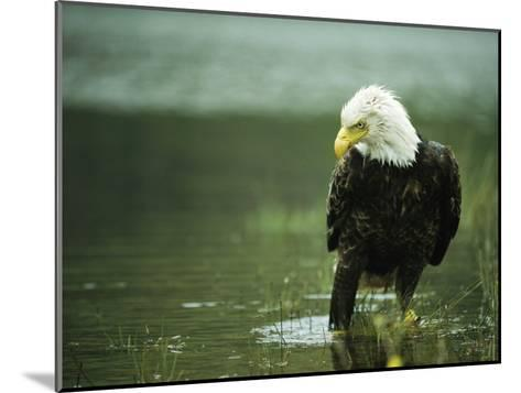 An American Bald Eagle Stares Intently Down at its Prey Below-Klaus Nigge-Mounted Photographic Print