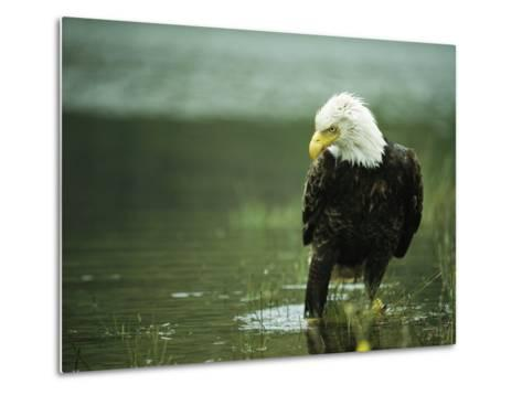 An American Bald Eagle Stares Intently Down at its Prey Below-Klaus Nigge-Metal Print
