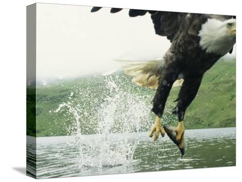 An American Bald Eagle Grabs a Fish with its Talons-Klaus Nigge-Stretched Canvas Print