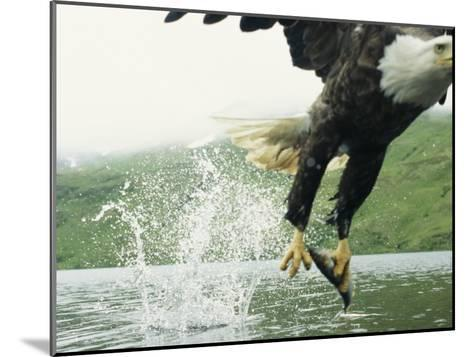 An American Bald Eagle Grabs a Fish with its Talons-Klaus Nigge-Mounted Photographic Print