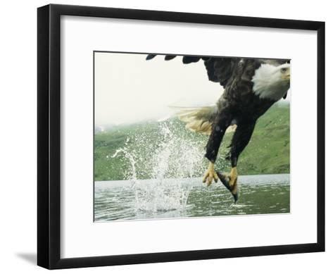 An American Bald Eagle Grabs a Fish with its Talons-Klaus Nigge-Framed Art Print