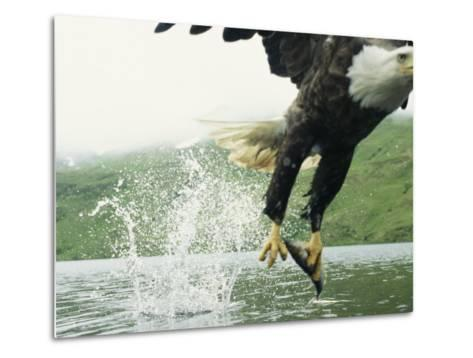 An American Bald Eagle Grabs a Fish with its Talons-Klaus Nigge-Metal Print