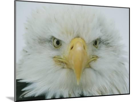 A Portrait of an American Bald Eagle-Klaus Nigge-Mounted Photographic Print