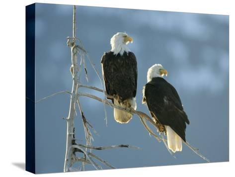 A Pair of Bald Eagles Perch on a Tree Branch-Klaus Nigge-Stretched Canvas Print