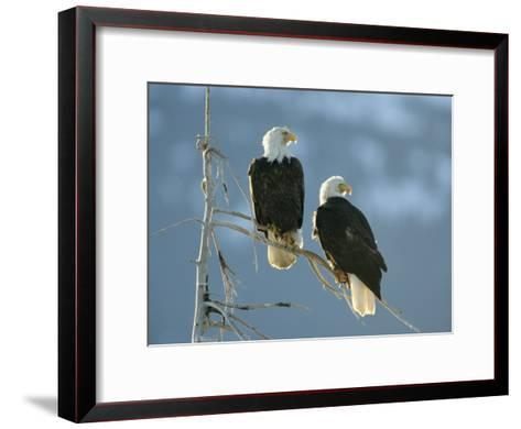A Pair of Bald Eagles Perch on a Tree Branch-Klaus Nigge-Framed Art Print
