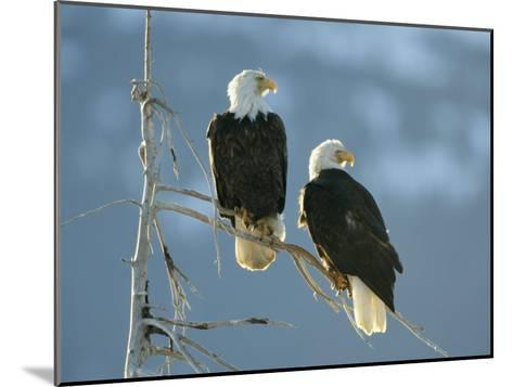 A Pair of Bald Eagles Perch on a Tree Branch-Klaus Nigge-Mounted Photographic Print