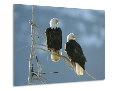 A Pair of Bald Eagles Perch on a Tree Branch-Klaus Nigge-Metal Print