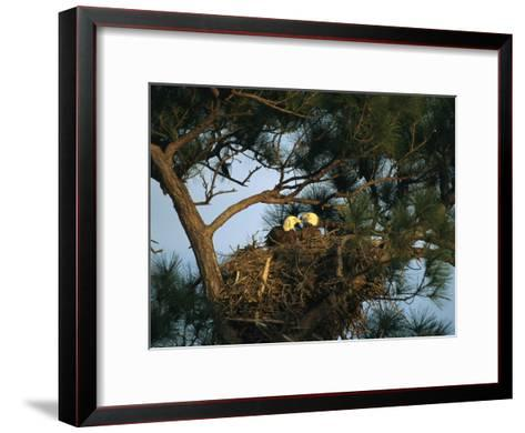 Pair of American Bald Eagles Sitting in Their Nest in a Pine Tree-Klaus Nigge-Framed Art Print