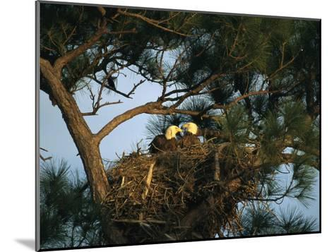 Pair of American Bald Eagles Sitting in Their Nest in a Pine Tree-Klaus Nigge-Mounted Photographic Print