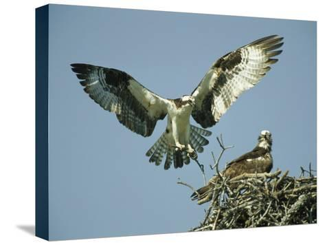 Osprey Landing in its Nest near its Partner-Klaus Nigge-Stretched Canvas Print