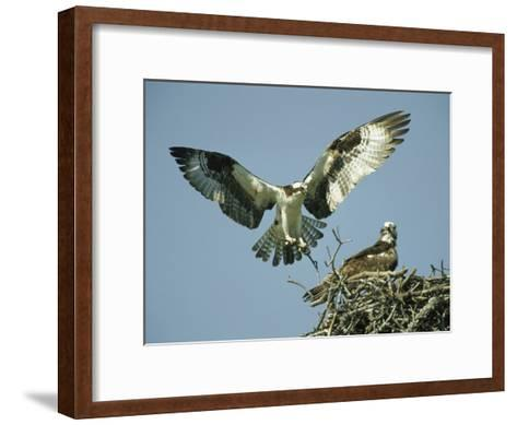 Osprey Landing in its Nest near its Partner-Klaus Nigge-Framed Art Print