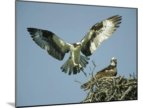 Osprey Landing in its Nest near its Partner-Klaus Nigge-Mounted Photographic Print