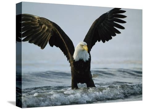 American Bald Eagle Grasps its Prey Below the Water-Klaus Nigge-Stretched Canvas Print