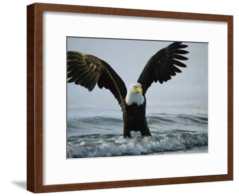 American Bald Eagle Grasps its Prey Below the Water-Klaus Nigge-Framed Art Print