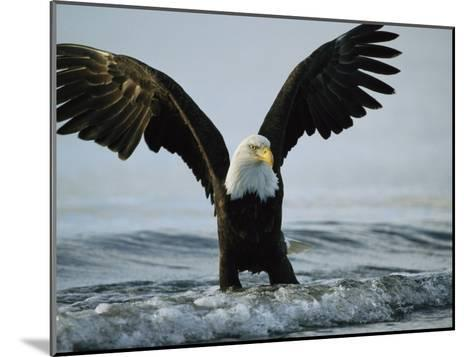 American Bald Eagle Grasps its Prey Below the Water-Klaus Nigge-Mounted Photographic Print